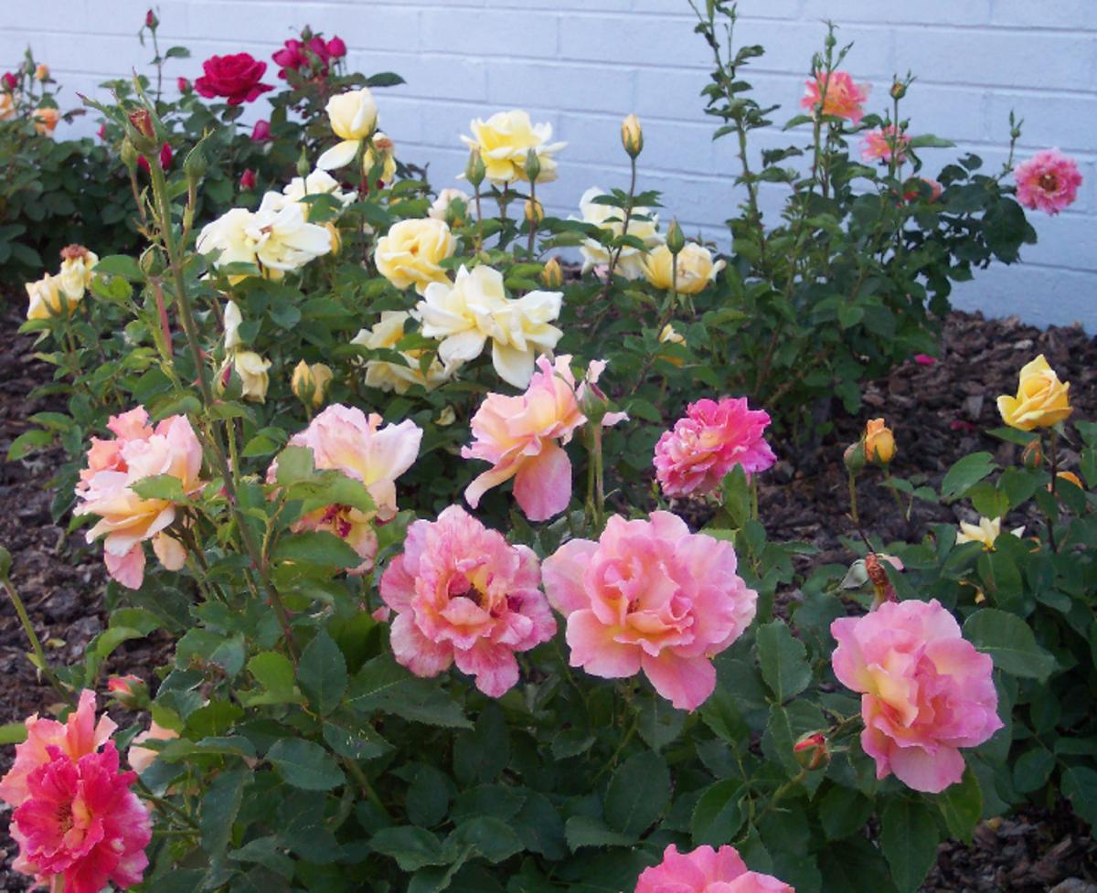 Pink Rose Garden Image