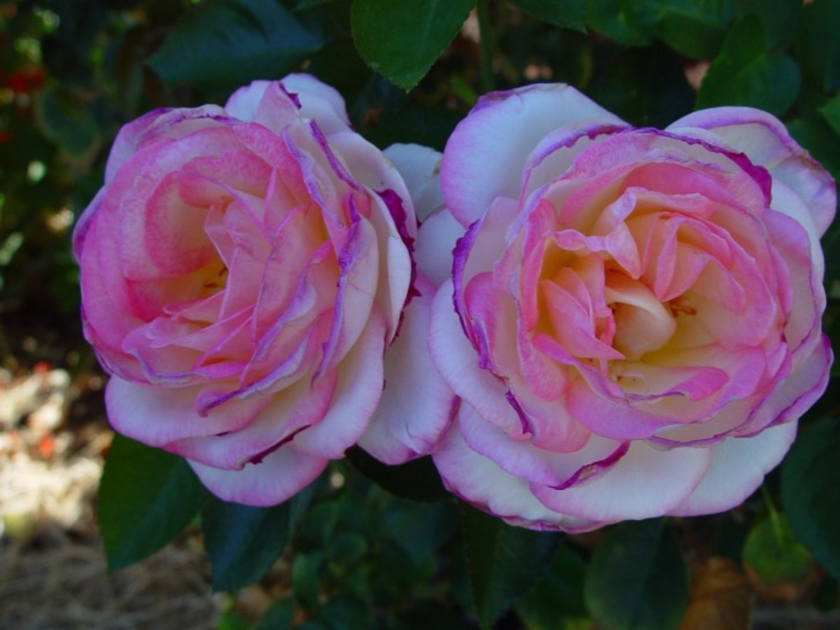 Pink with Purple Roses Picture