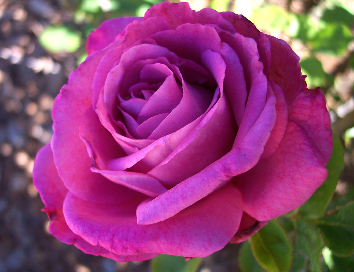 Full Bloom Purple Rose Picture