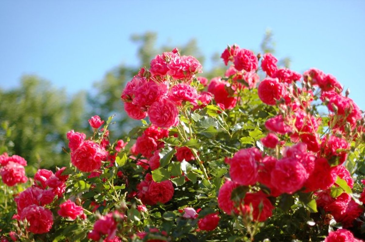 Red Roses Bushes Photo