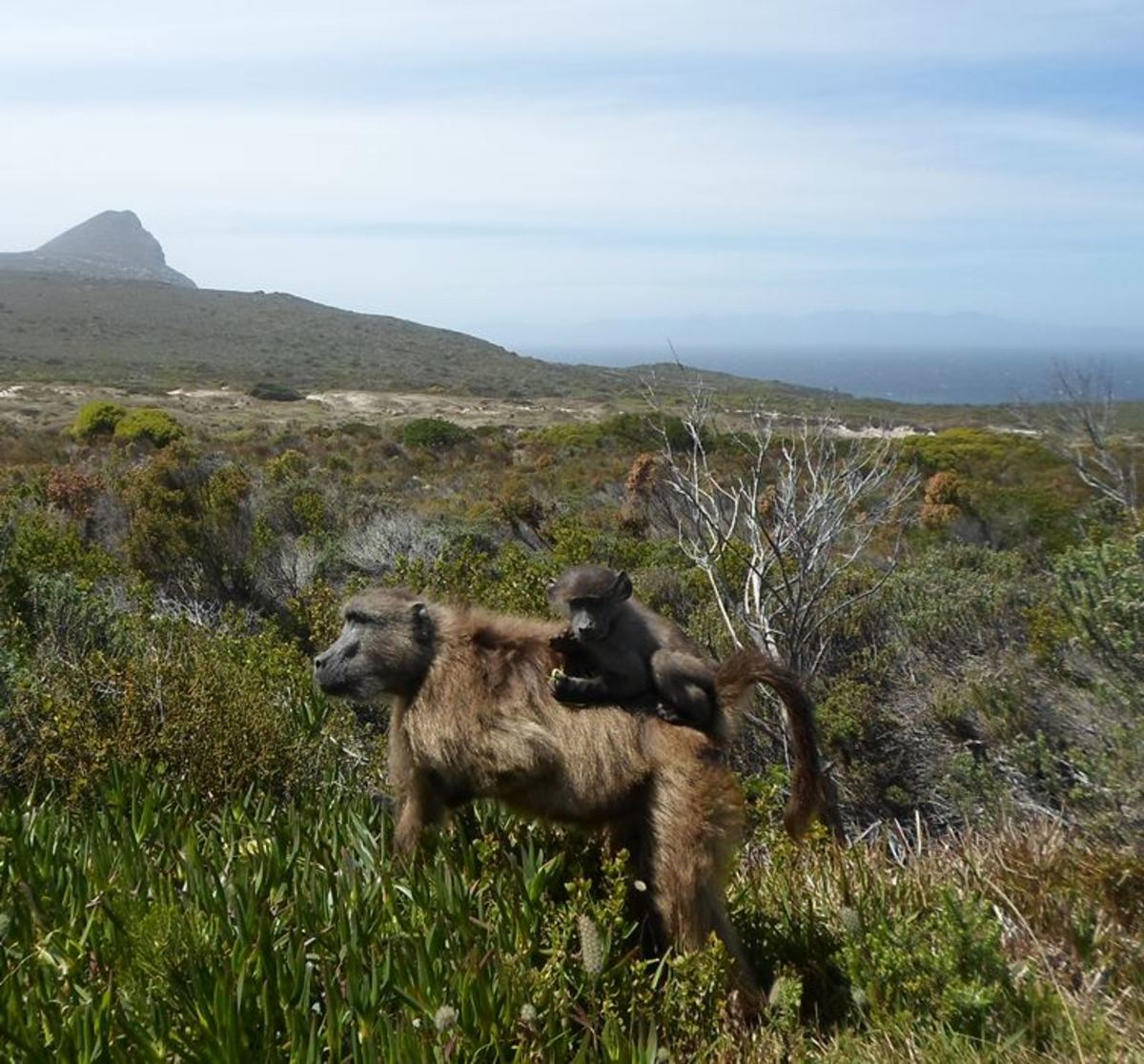Cape baboon at Cape Point, Cape Peninsula, South Africa
