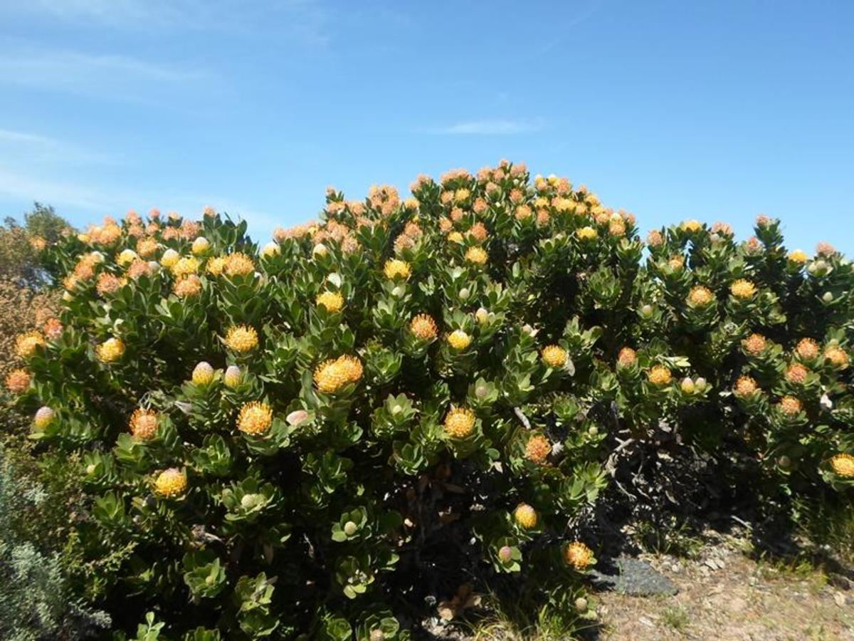Fynbos, Sugar Bush, Leucospermun nutans at Cape Point, Cape Peninsula, South Africa