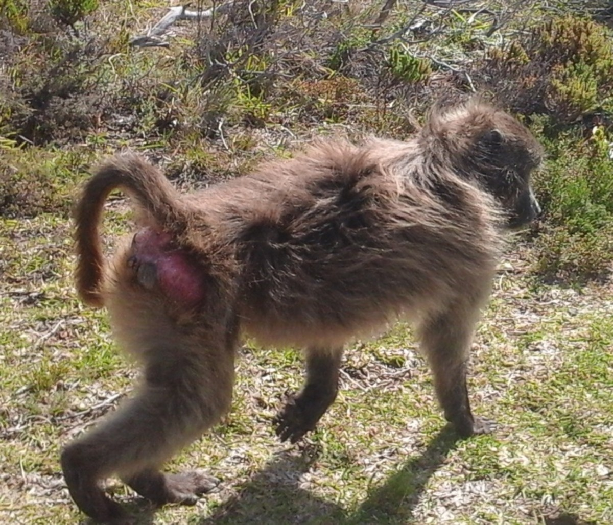 The Cape baboon