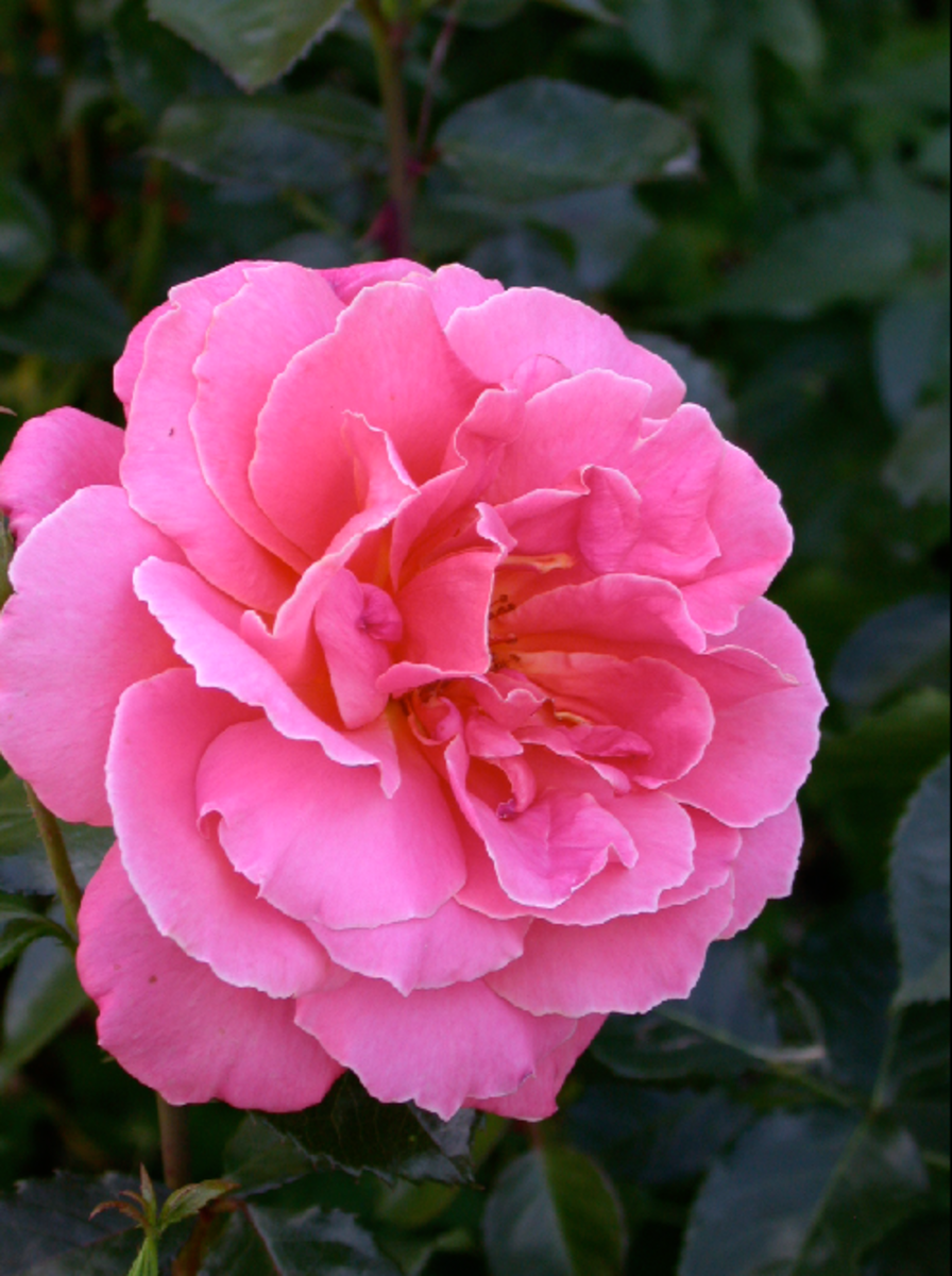 Picture of Pink Rose in Full Bloom