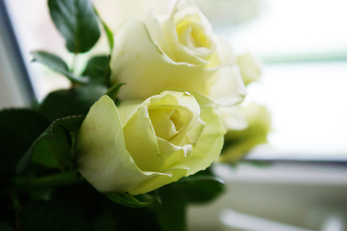 On an Angle White Roses Picture