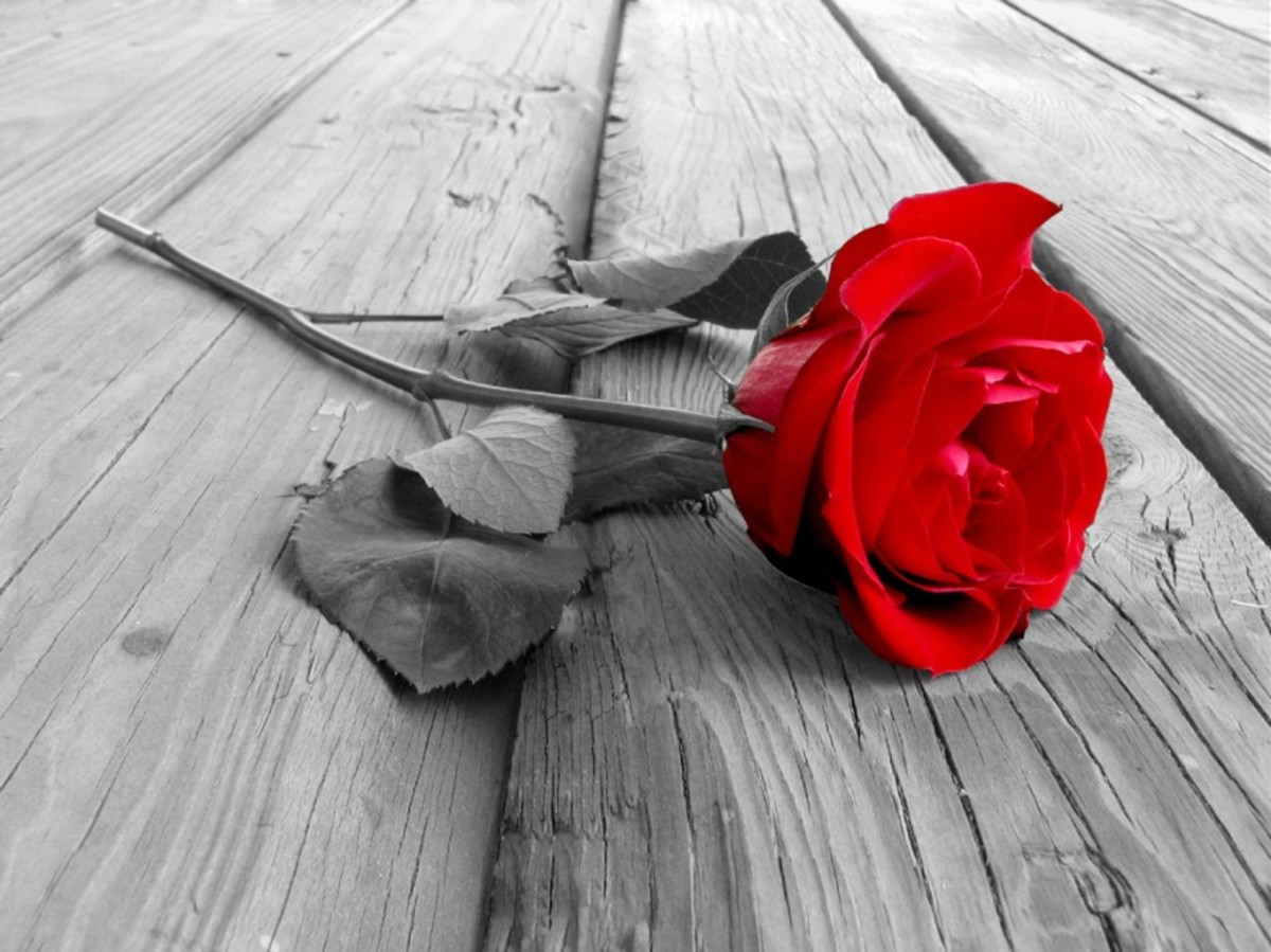 Photo of Single Red Rose with Black and White Background