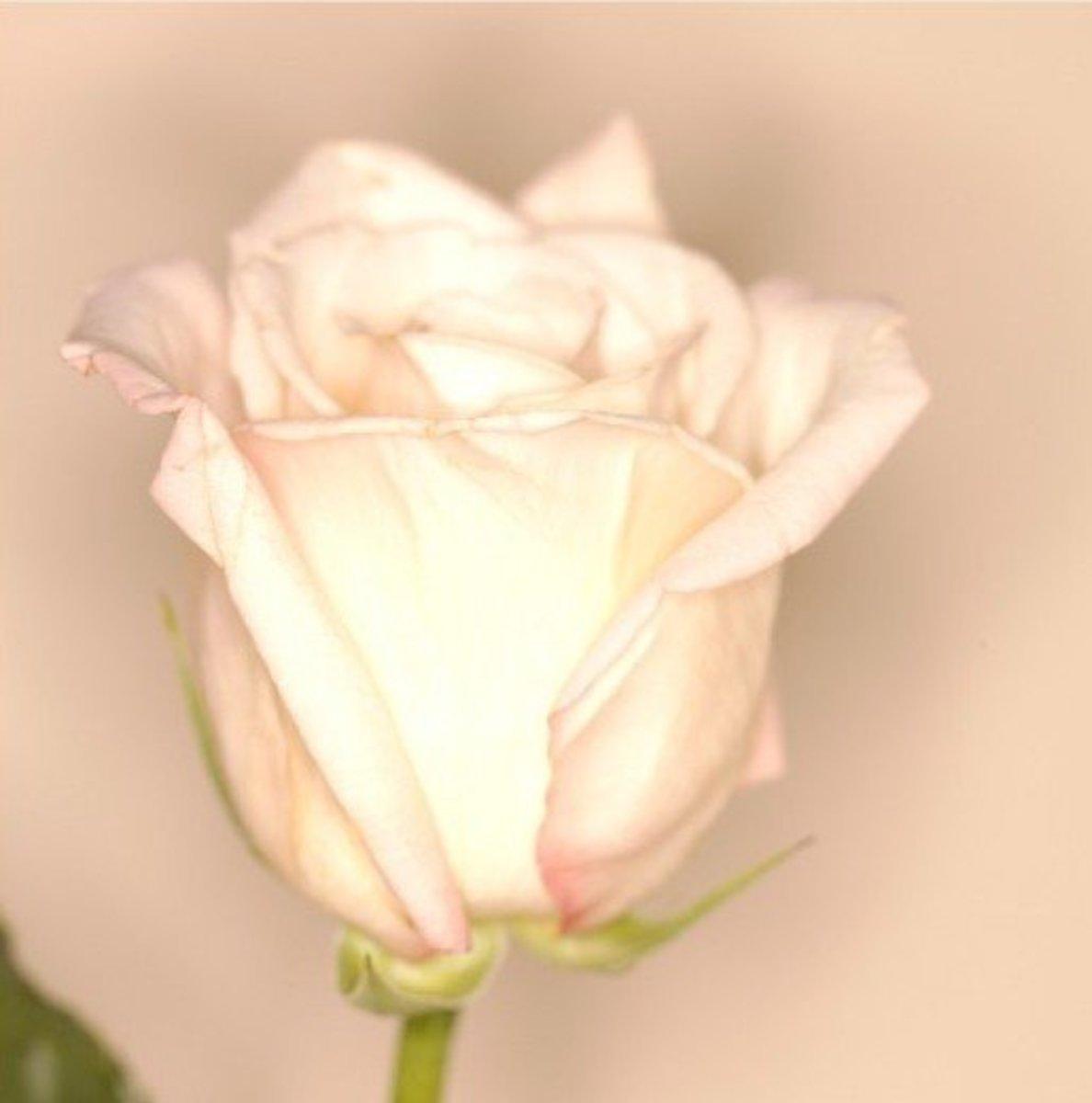 White Rose Picture
