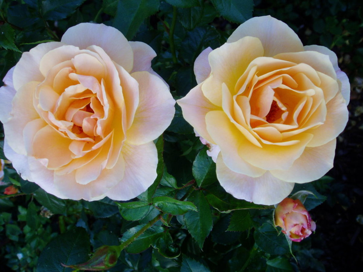 Yellow Roses with White Outer Petals Image
