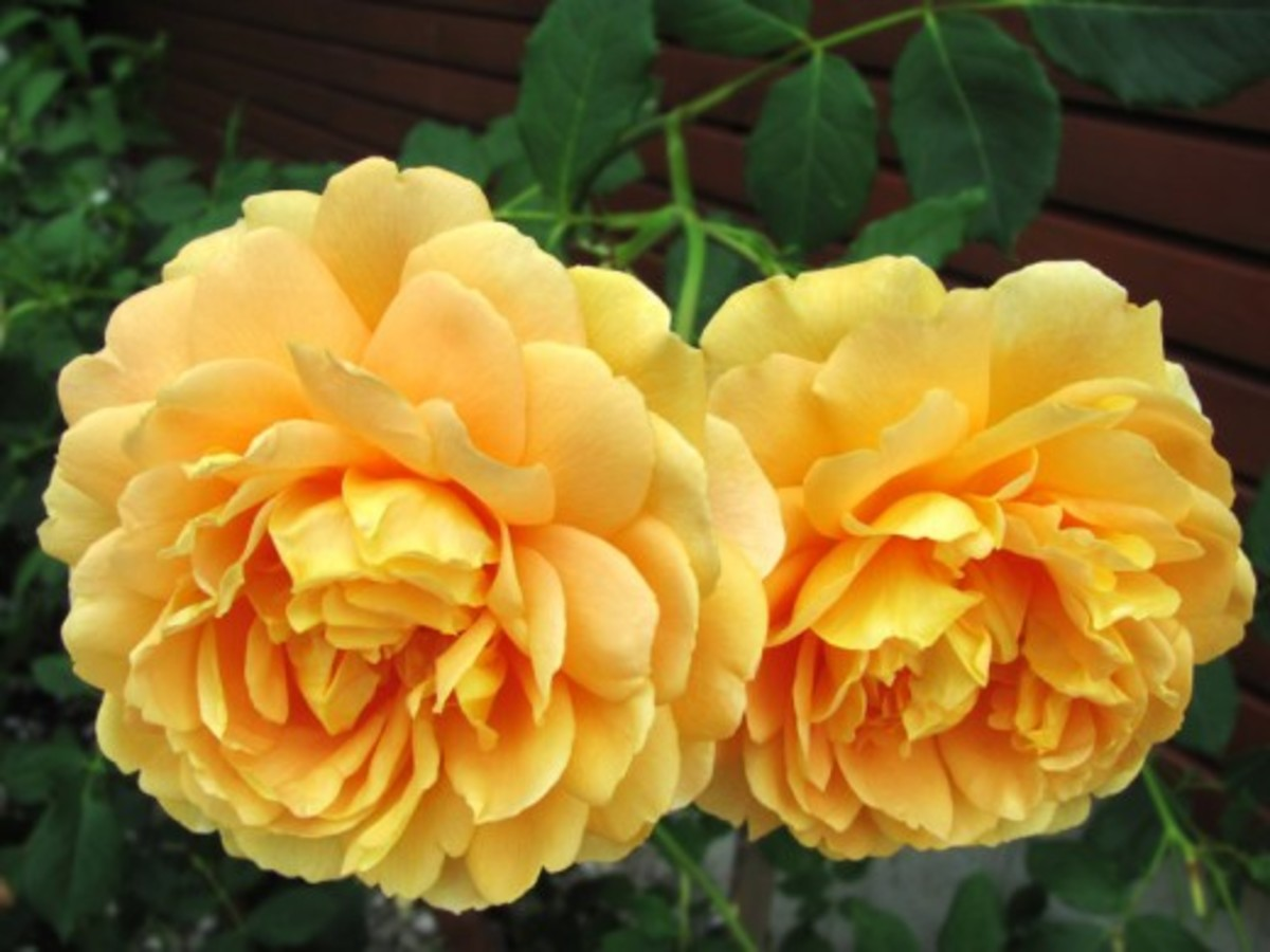 Two Yellow Roses in Full Bloom Pic