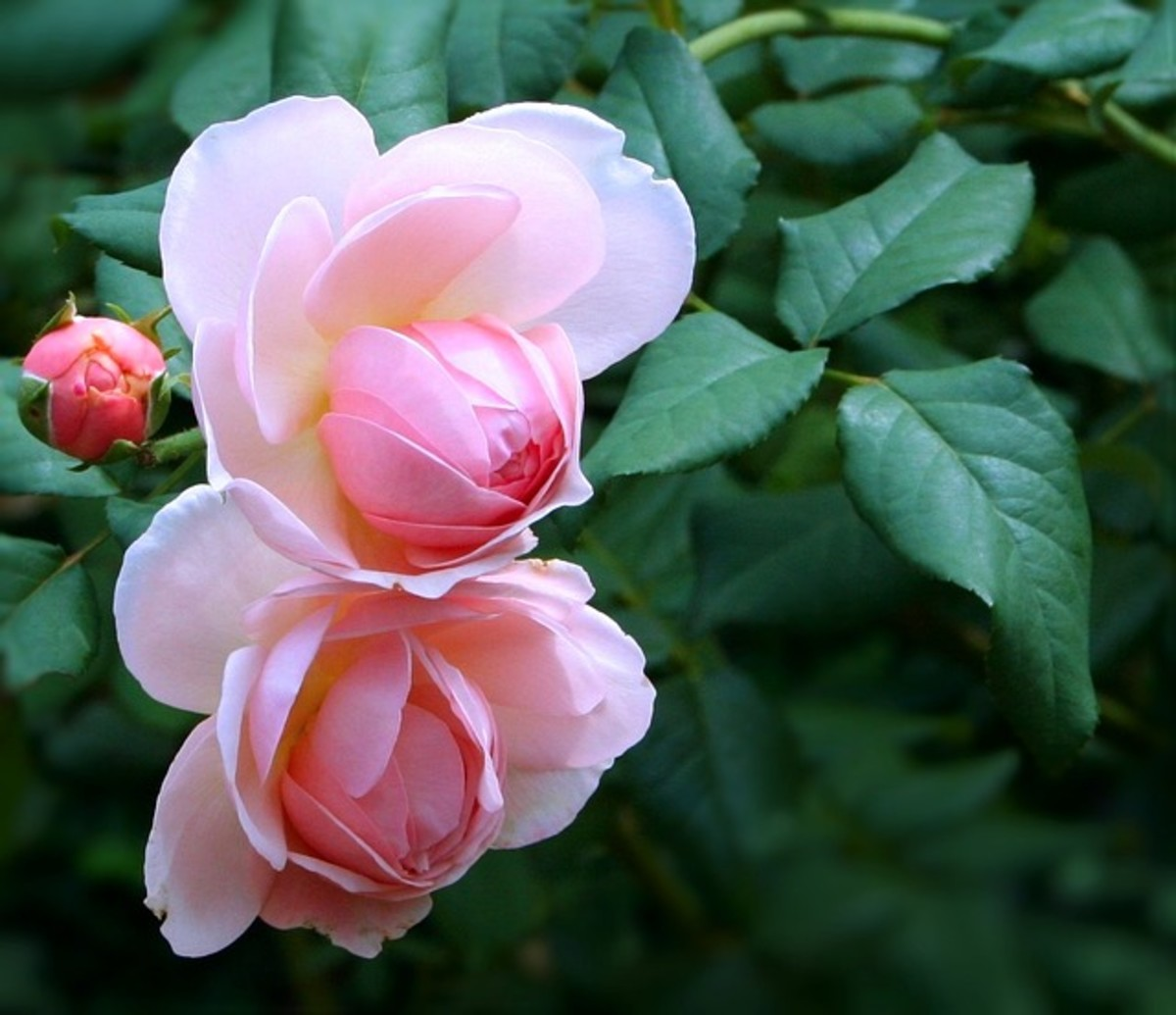 Two Pale Pink Roses Photo