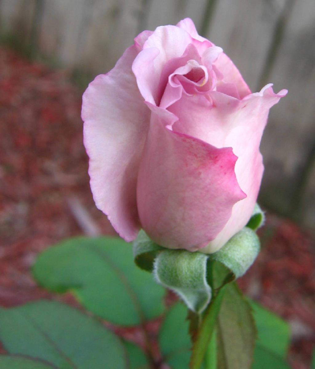 Pink Rose Bud Opening Image