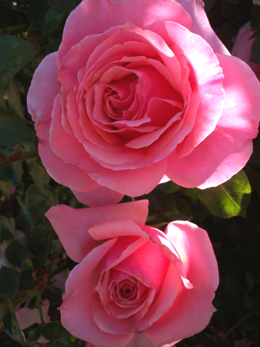 Two Pink Roses Picture