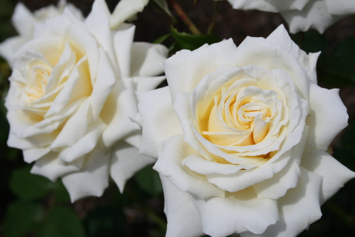 Picture of Two White Roses