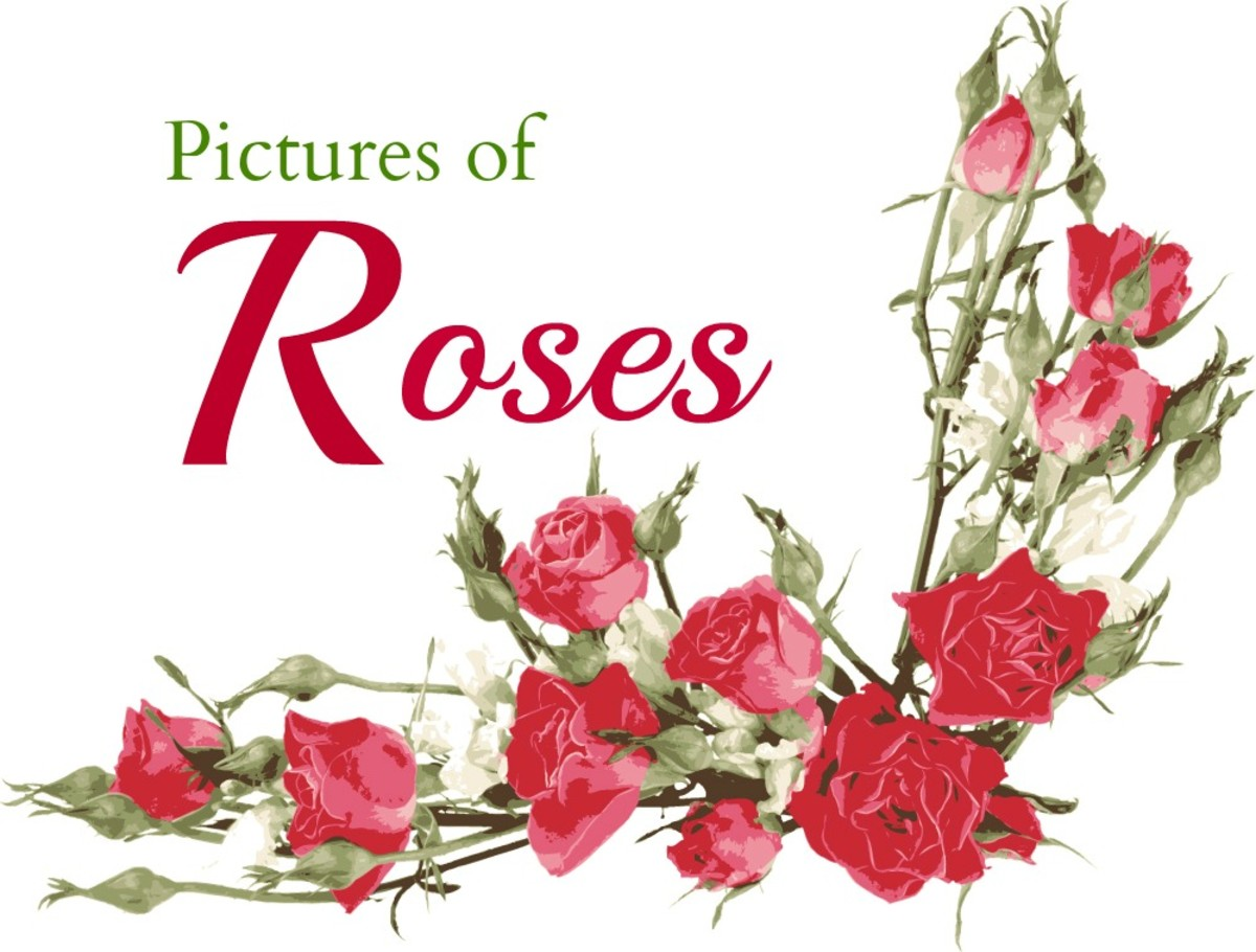 Pictures of Roses