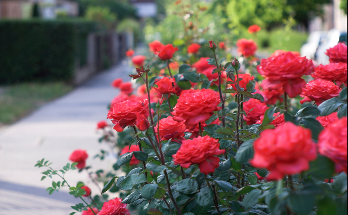 Picture of Red Roses in Full Bloom