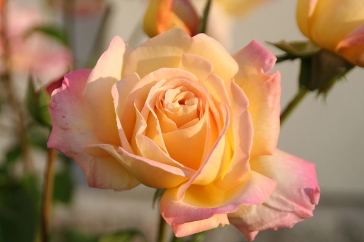 Single Pink Blush Rose Picture