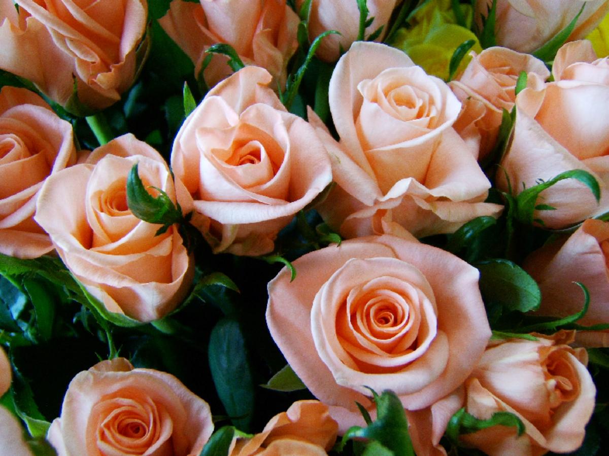 Peach Roses Photo