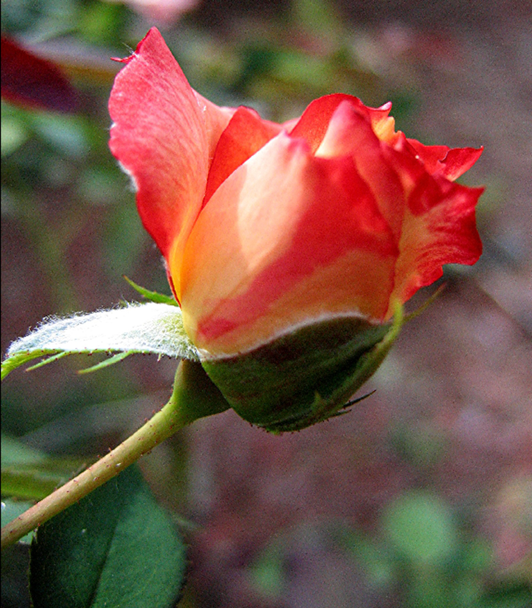 Orange Rose Bud Blossoming Picture