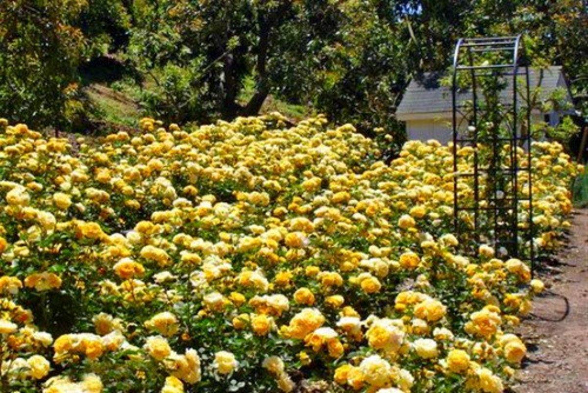 'Julia Child Rose Bush' Garden Photo