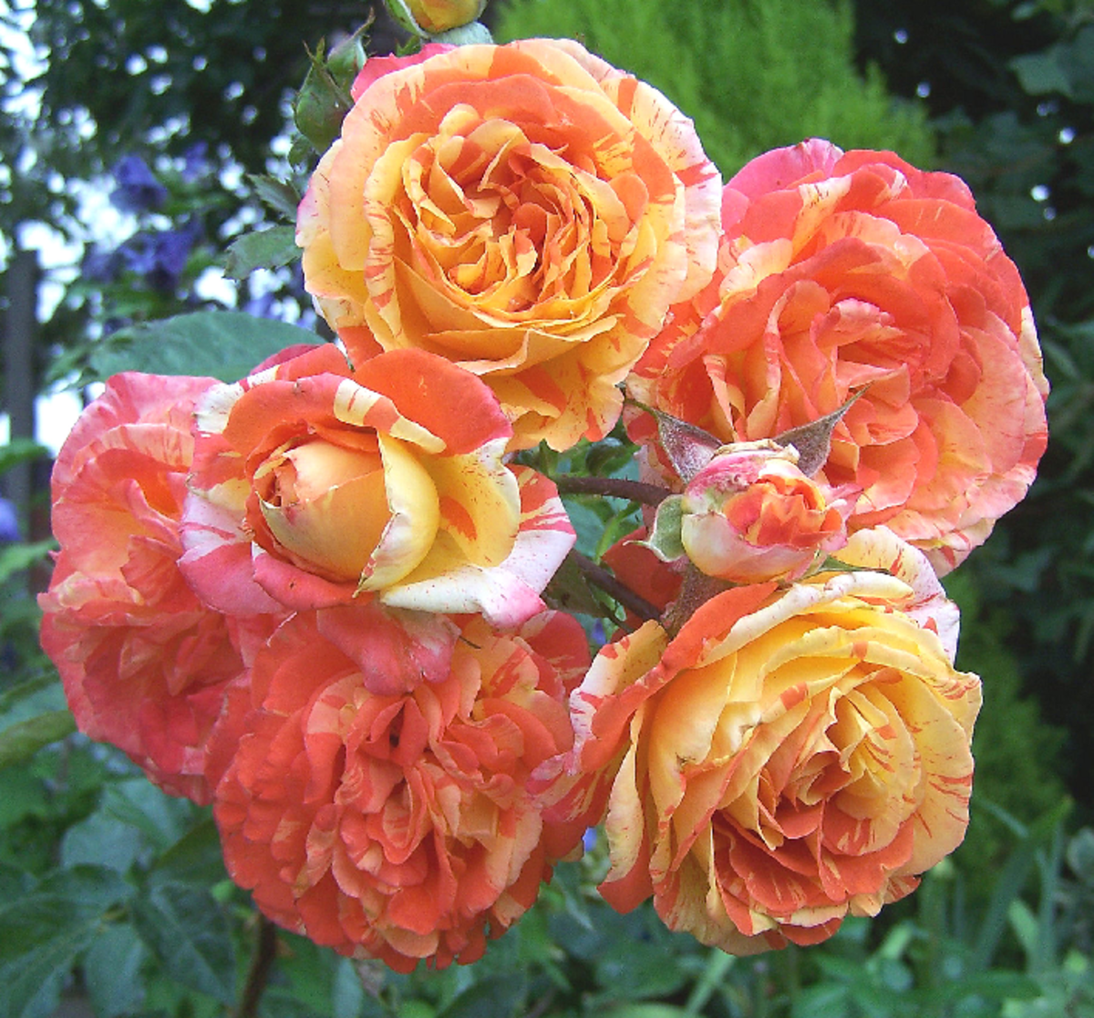 Orange and Yellow Roses Cluster Image