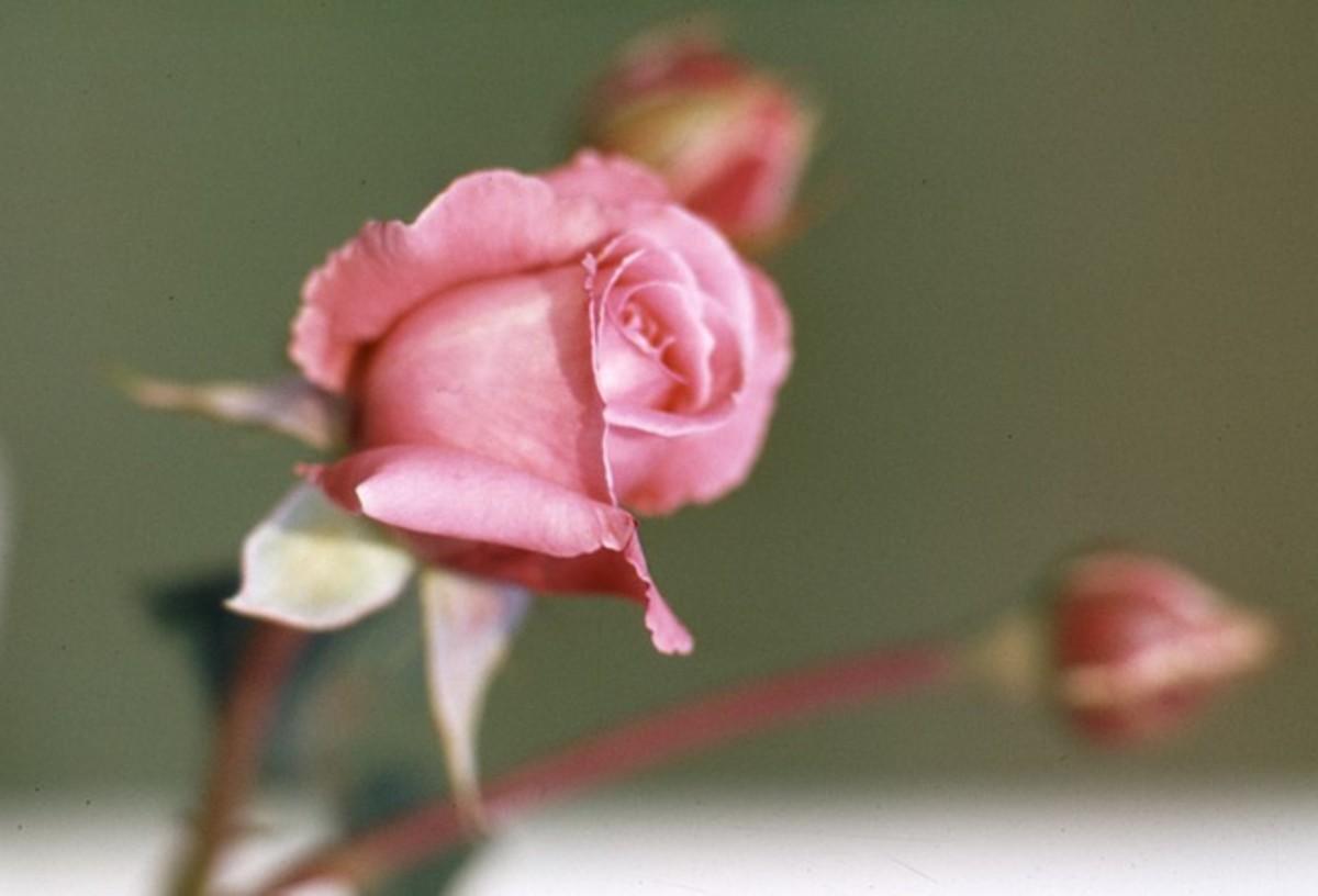 Pink Rose Bud Cluster Photo