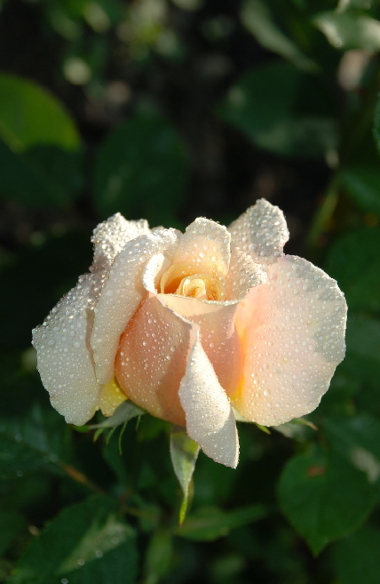 White Rose with Dewdrops Picture