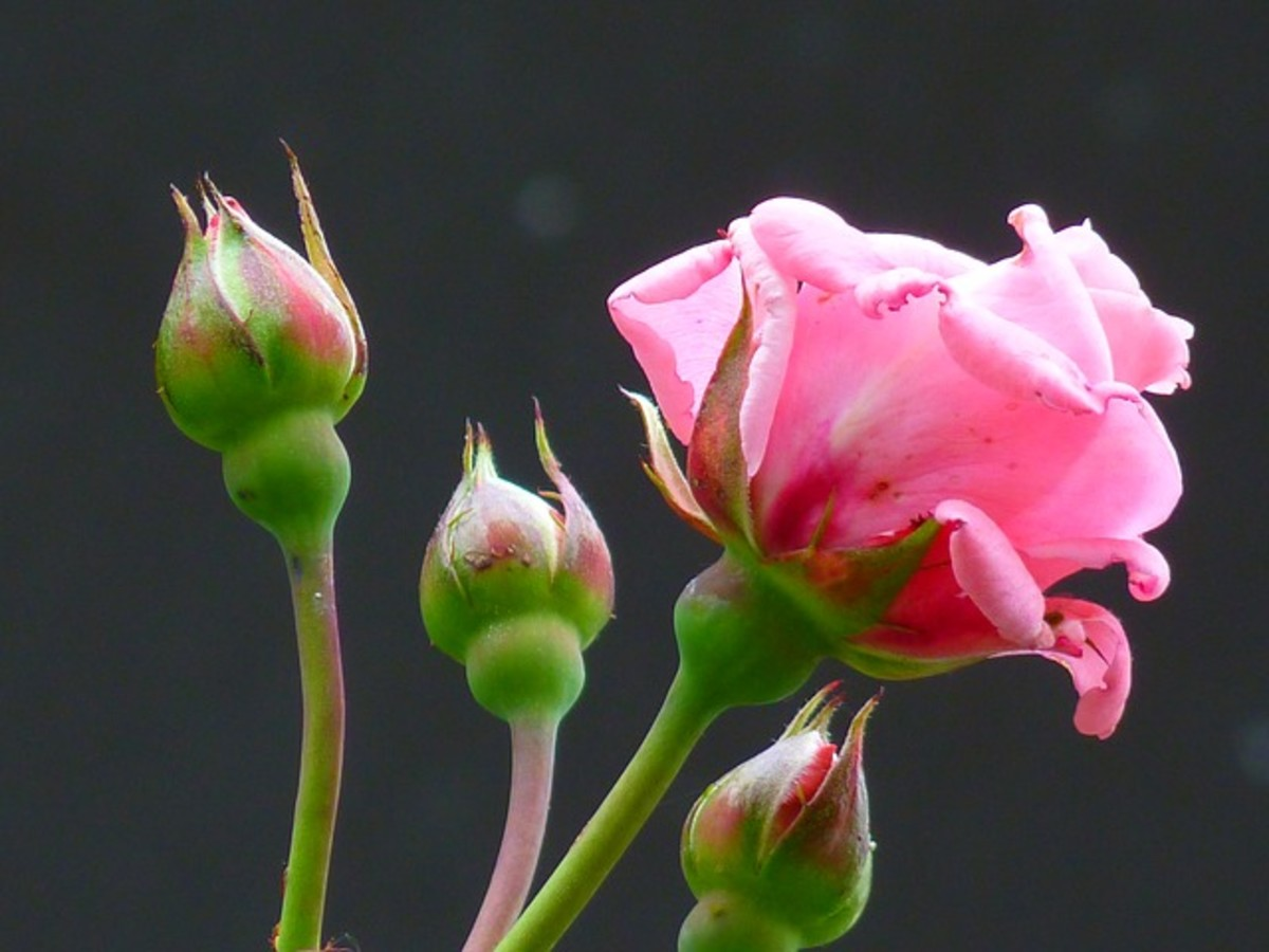 Pink Rose and 3 Rose Buds Photo