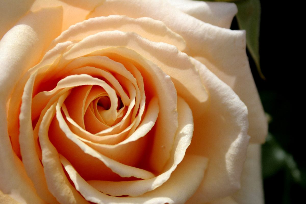 Peach Rose Image Close-up