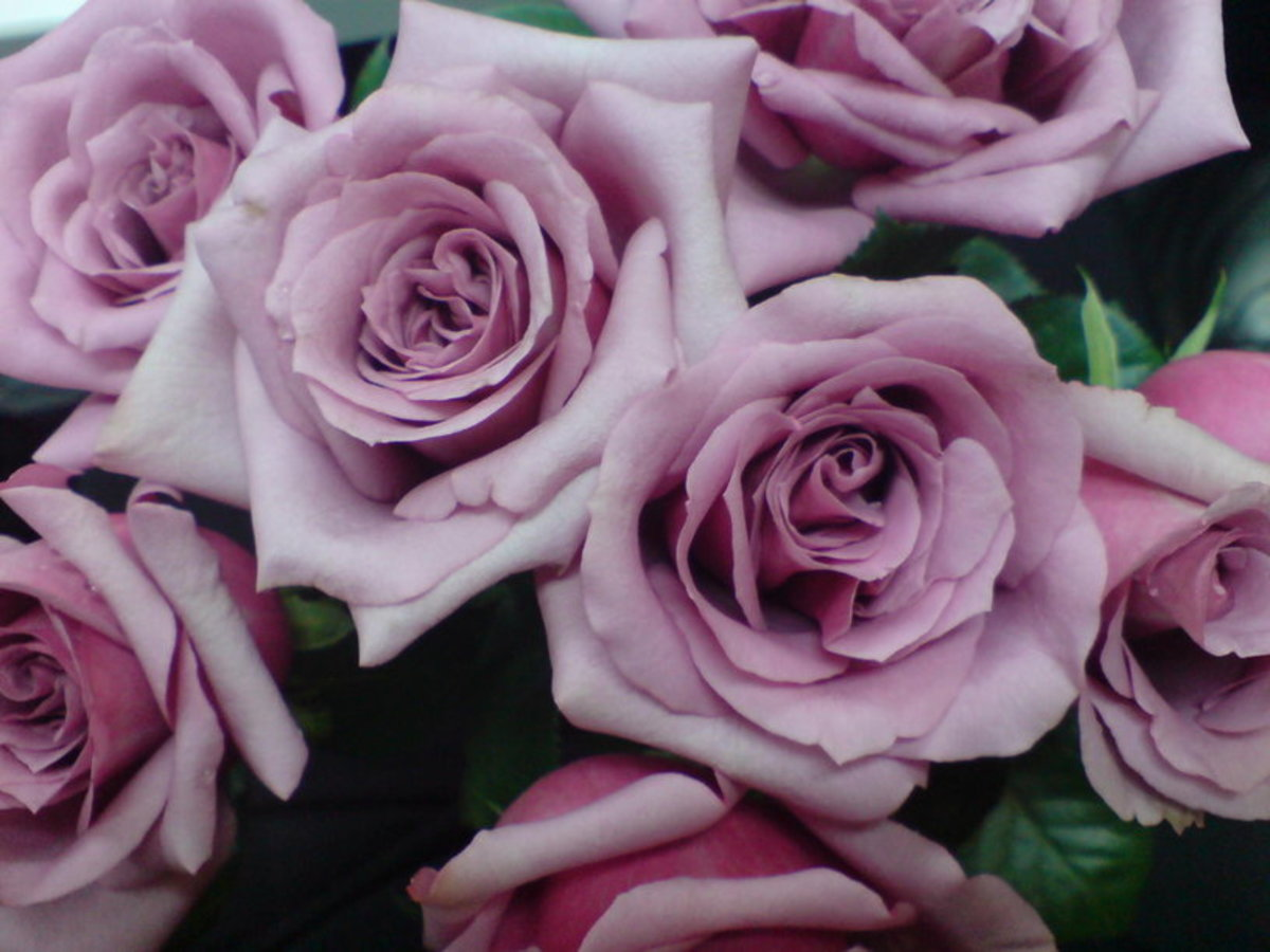 Lavender Purple Roses Photo
