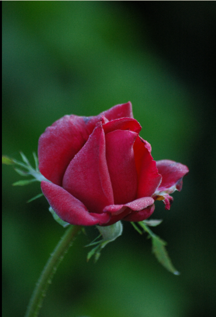 Red Rose Blossom Photo