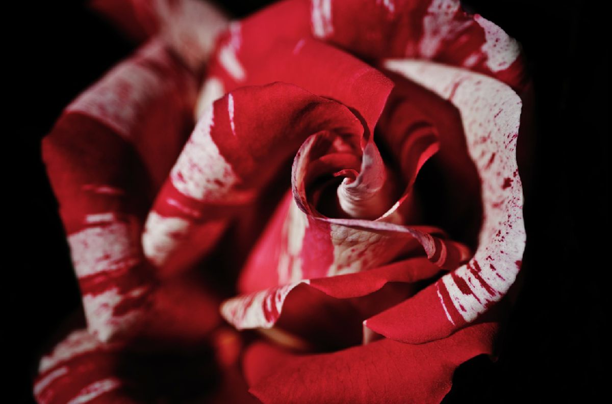 Peppermint Red Rose Picture