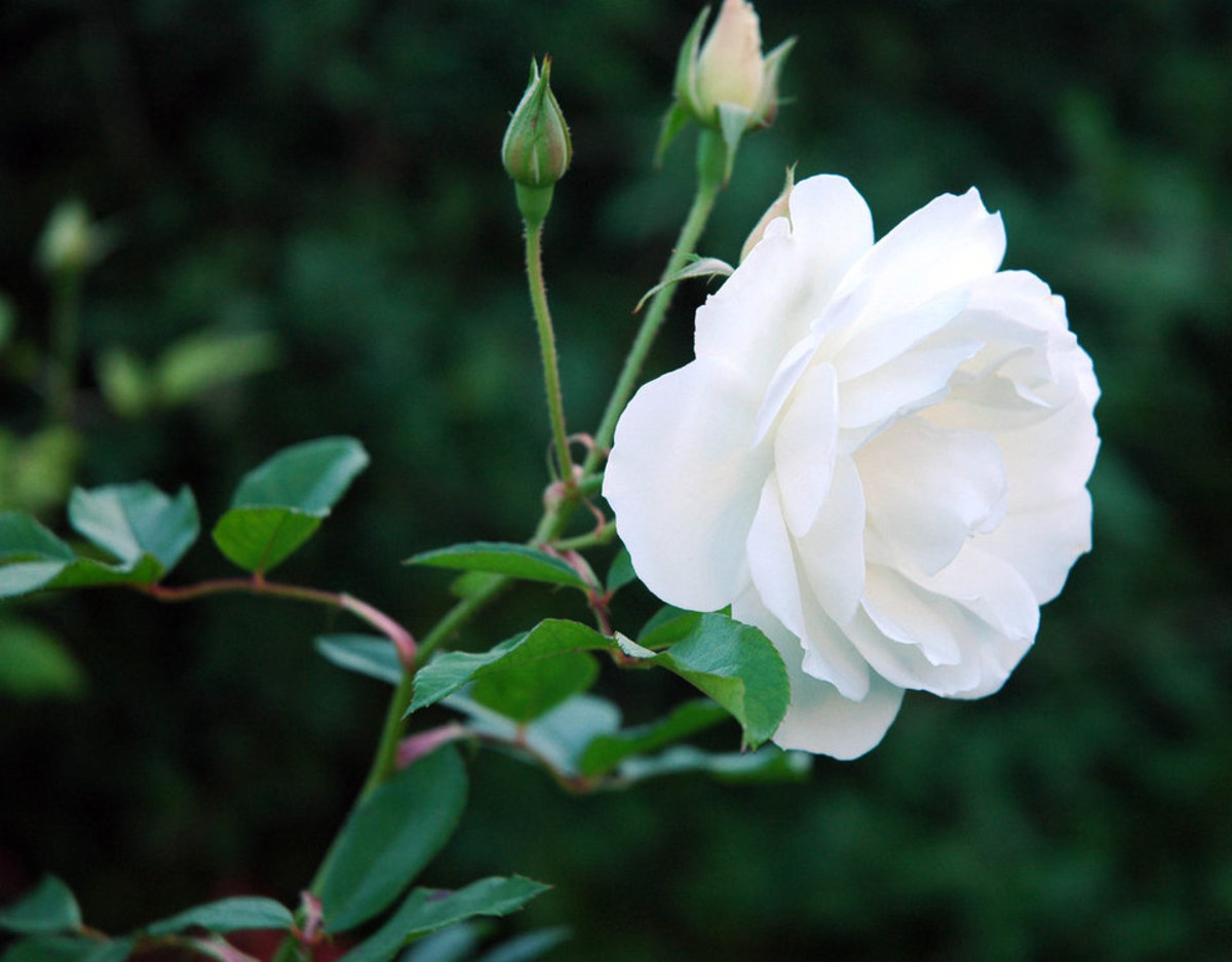 White Rose with Two Rosebuds Picture