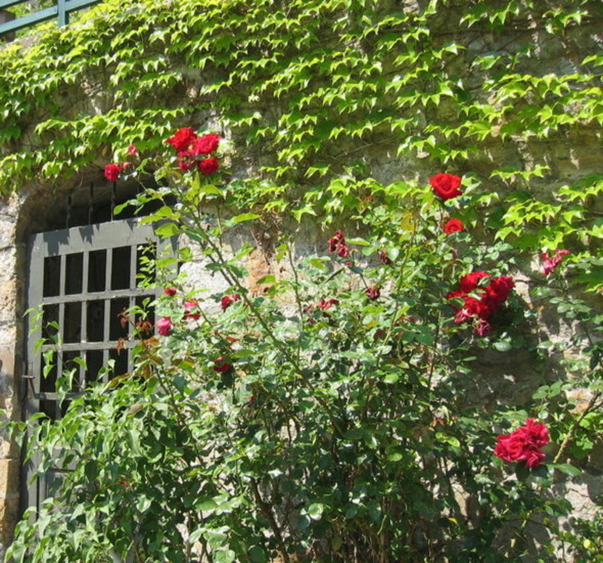 Picture of Red Roses Next to Stone Cottage