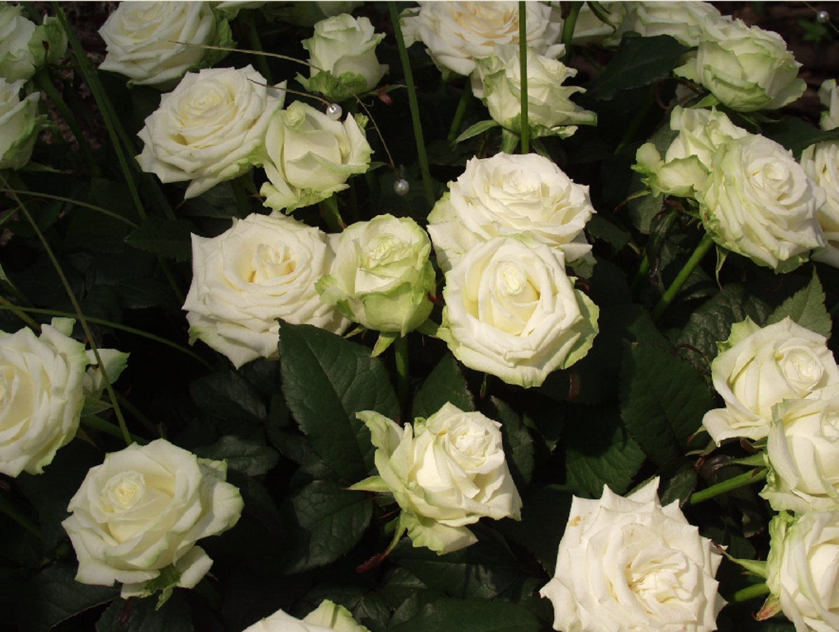 Garden of White Roses Picture