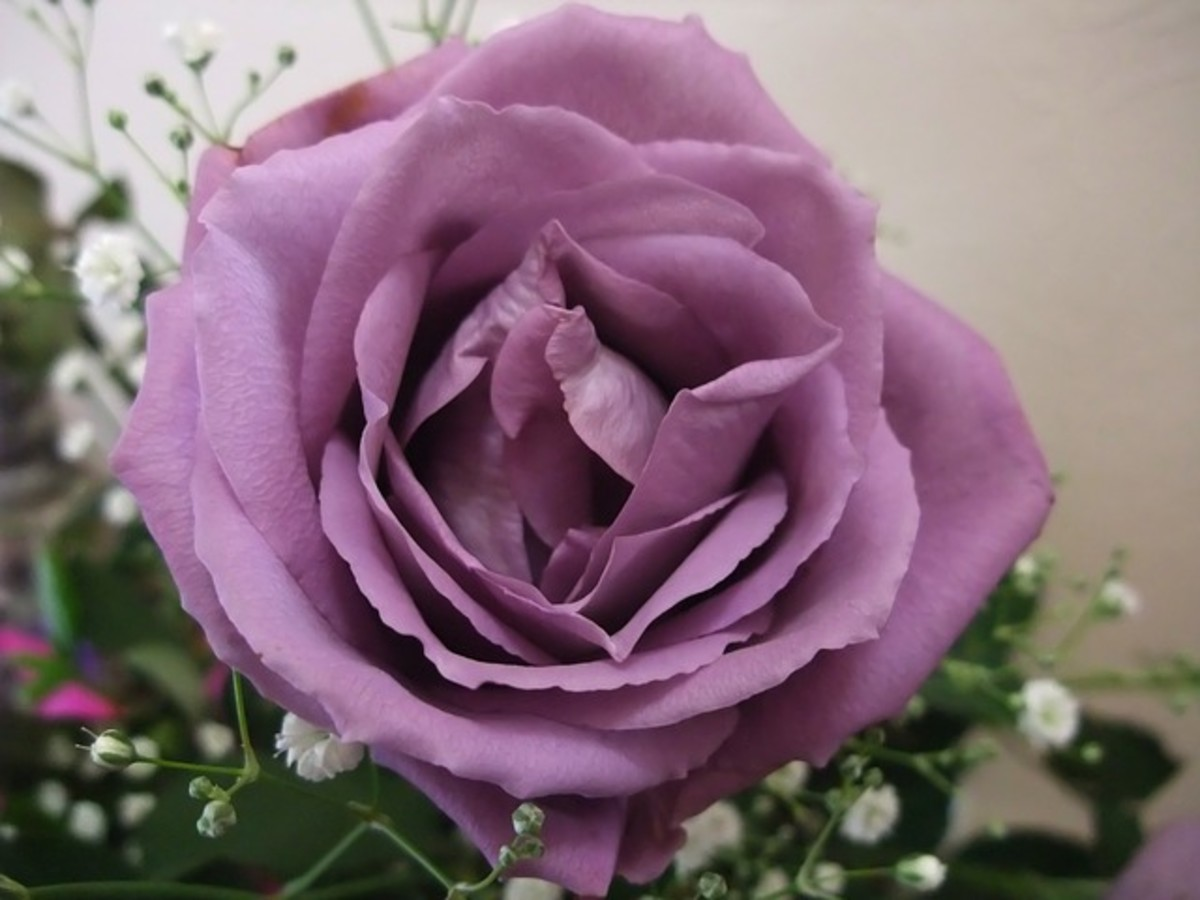 Perfect Purple Rose Photo
