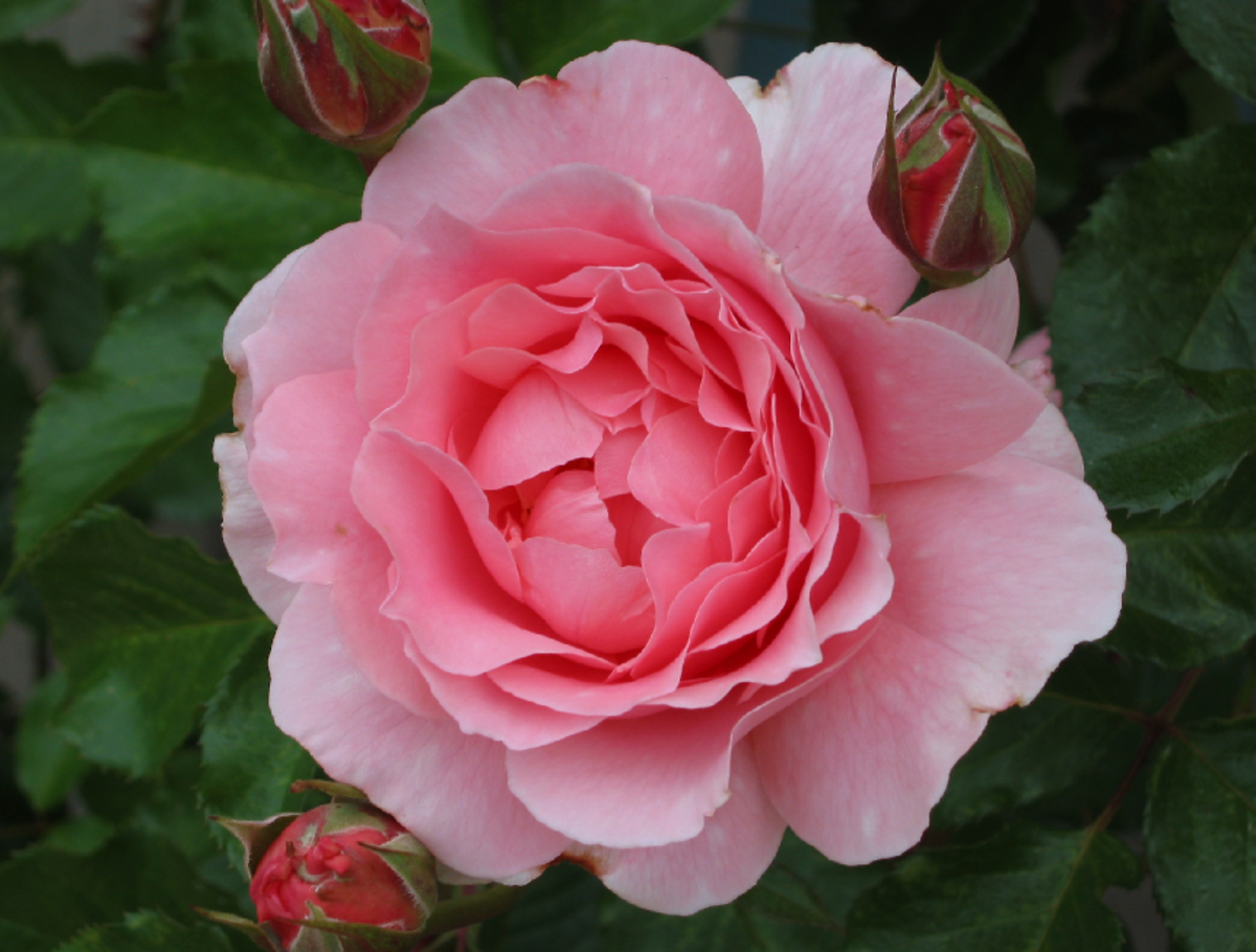 Picture of Perfect Pink Rose