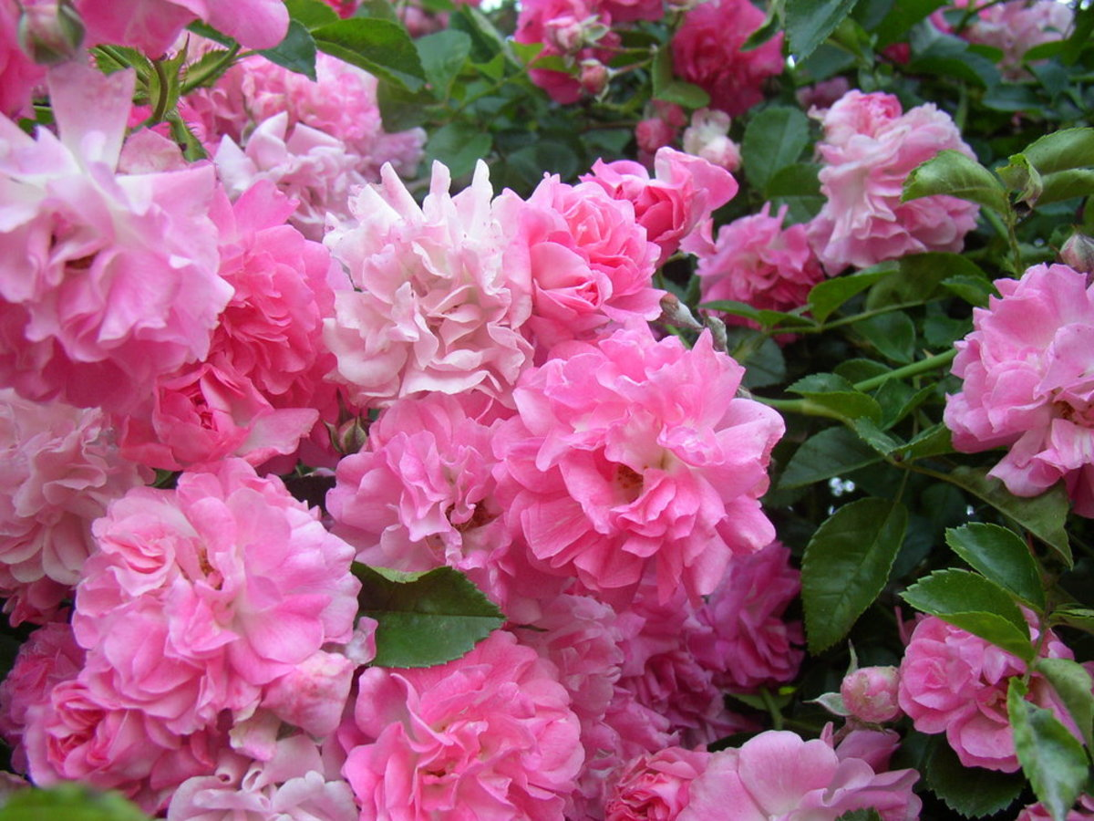 Pink Roses in Full Bloom Photo