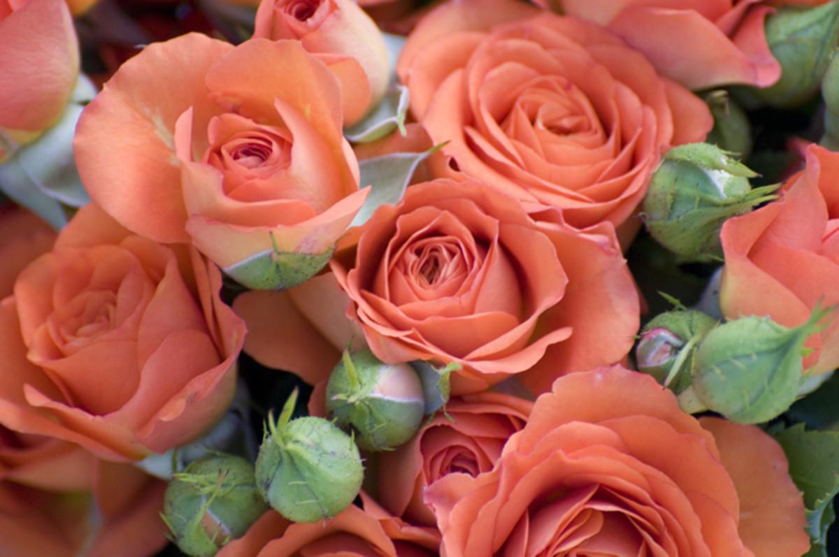 Coral Orange Roses Photo