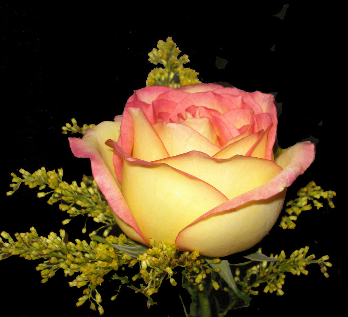 Yellow and Orange Rose Photo