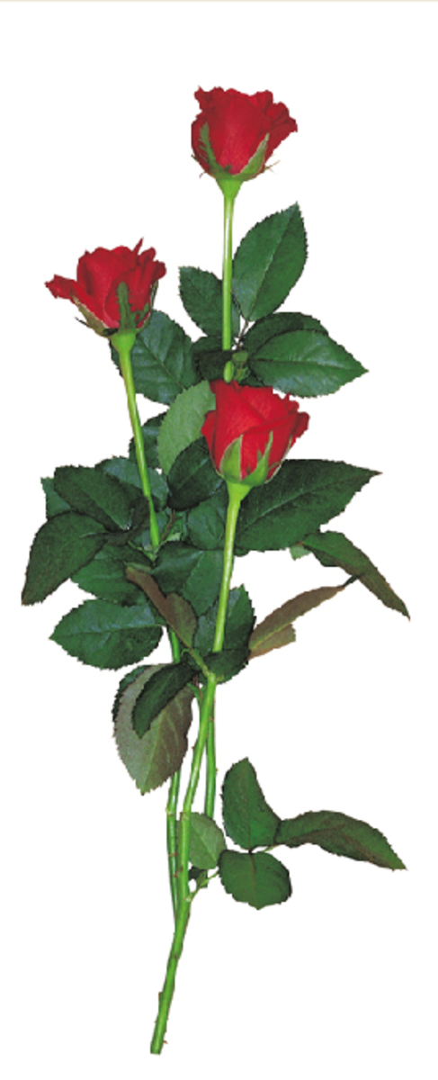 Three Long-Stem Red Roses Picture