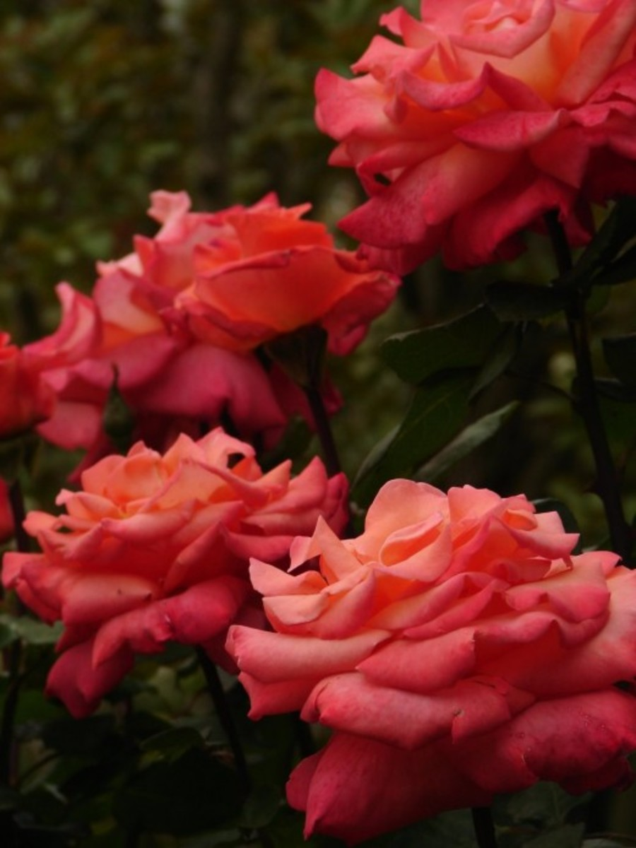 Orange Roses in Garden Picture