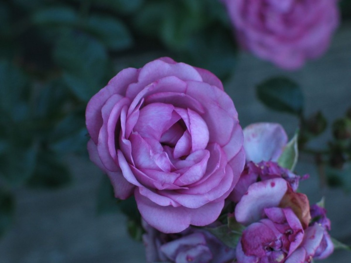 Picture of Purple Roses in the Garden