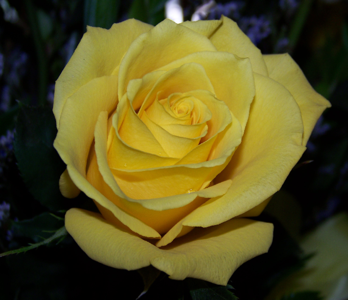 Yellow Rose in Soft Light Photo