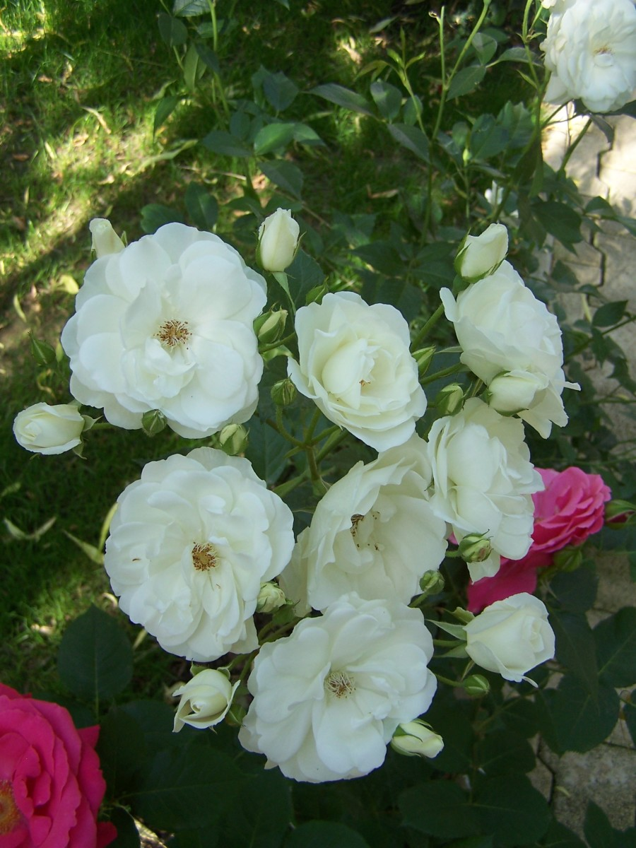 Bush of White Roses Picture