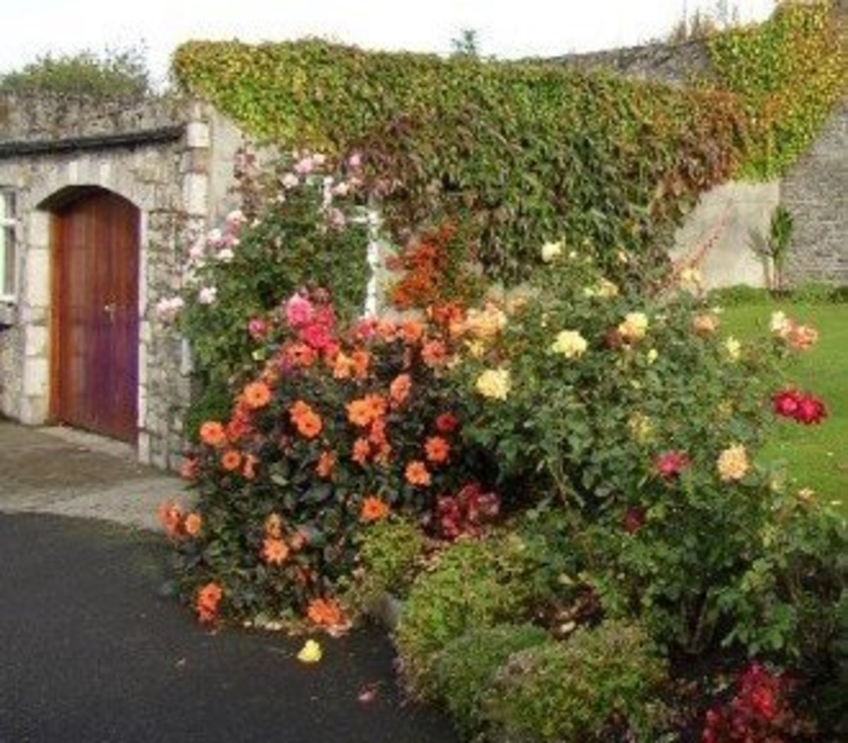 Stone Cottage and Garden of Orange Roses Picture