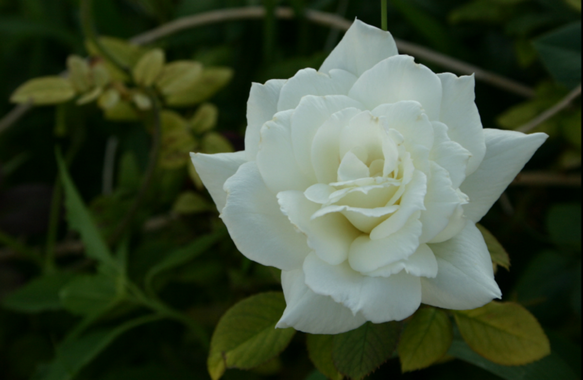 White Rose in Garden Picture
