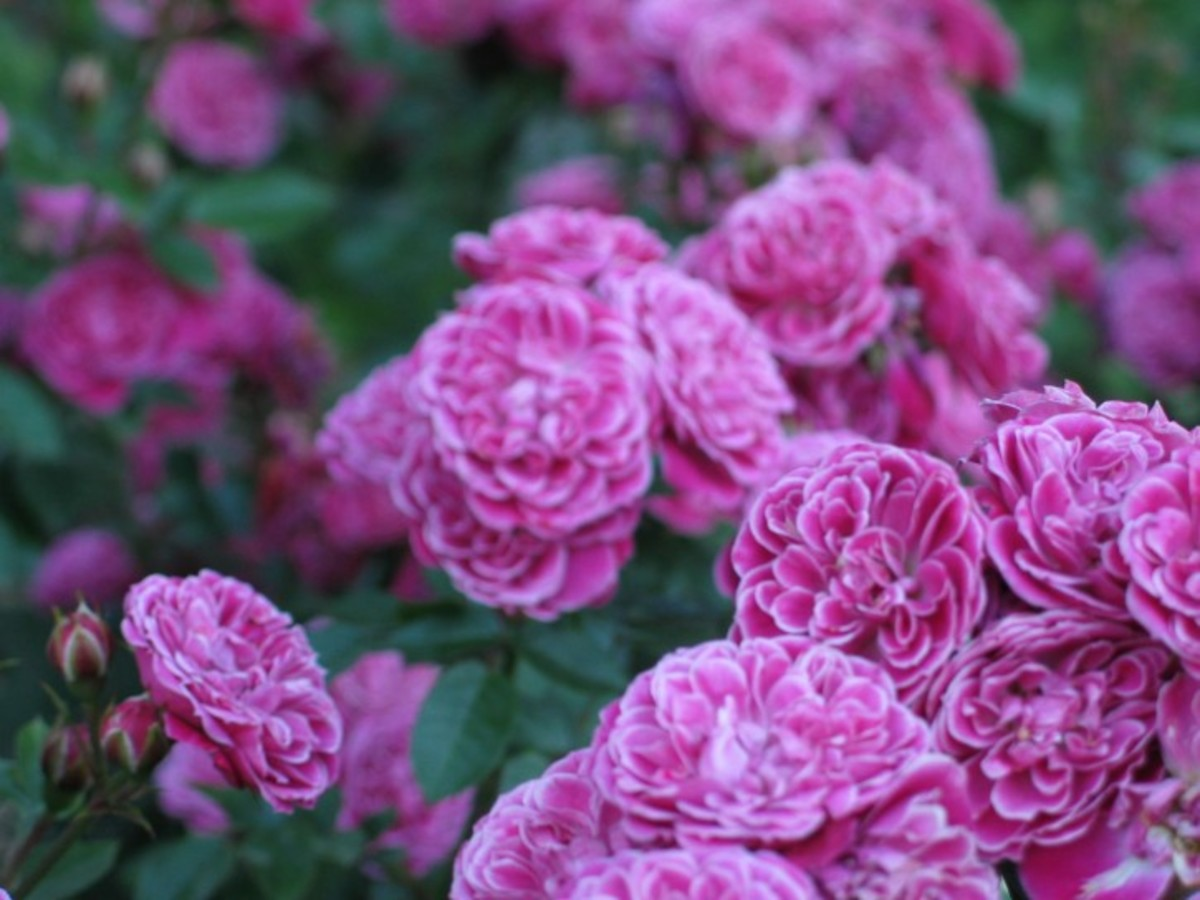 Clusters of Garden Purple Roses Photo