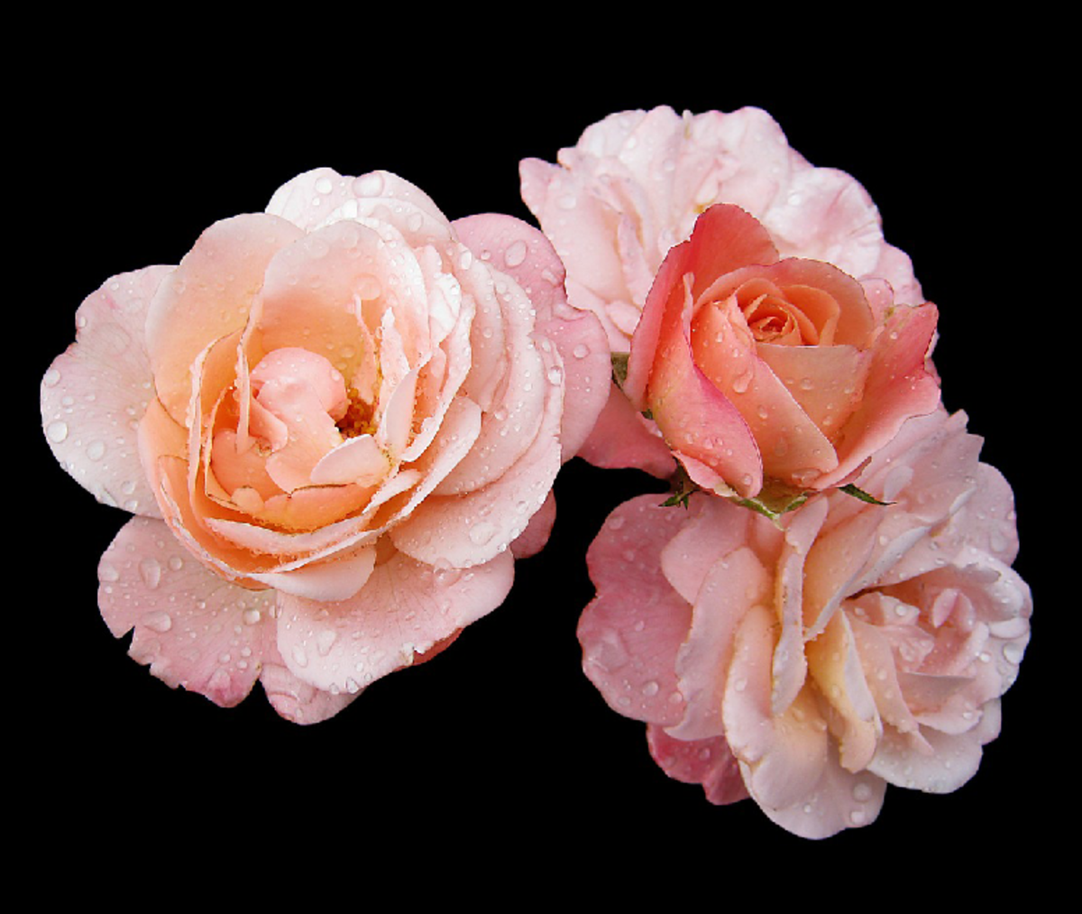 Picture of Peach Orange Roses with Dewdrops