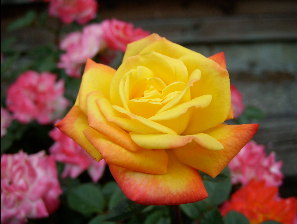 Yellow and Orange Rose Picture