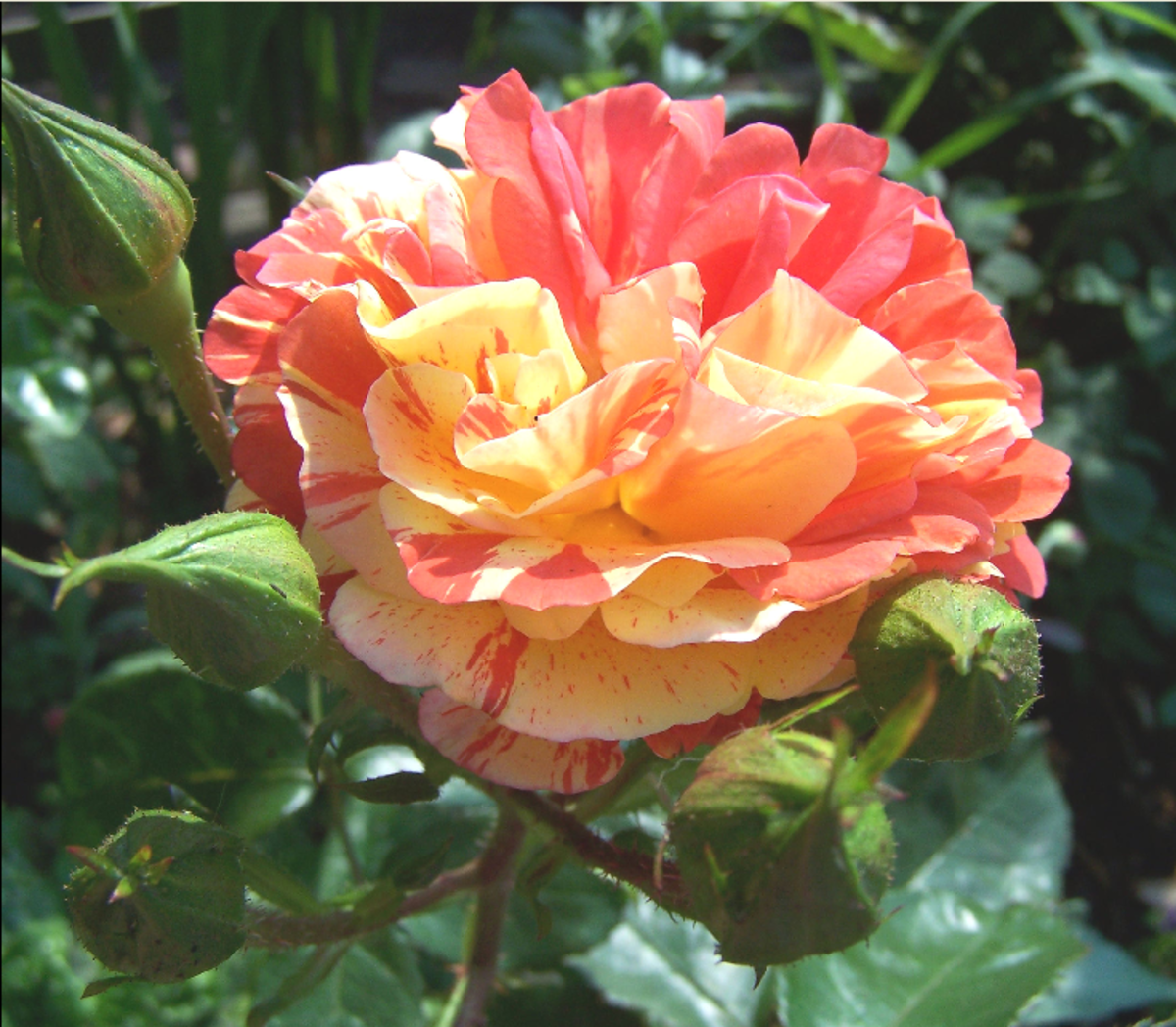 Orange and Yellow Rose Picture